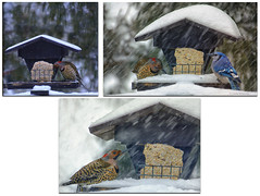 Northern Flicker (Lindaw9) Tags: northern flicker blue jay feeder snowing winter