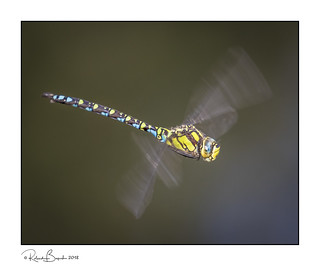 Colourful Dragonfly in flight - Southern Hawker