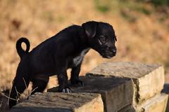 BC7A0203s (photog711) Tags: puppy dog canon 5div sigma150600