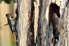 DSC 8932 Woodpecker female and male (Charli 49) Tags: charli nature naturfotografie tier animal vogel bird woodpecker wildlife kanada ontario nikon d7000