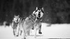 '' White world 8/10 '' (camel.arnaud) Tags: white blanc black noir dog chien husky malamute greenland groenlandais hiver winter canada quebec