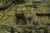 (Light Echoes) Tags: sony a6000 2018 winter january philadelphiazoo zoo philadelphia animal mammel carnivore feline bigcat leopard amurleopard