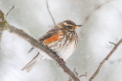 Redwing in the snow 2 (badger2028) Tags: redwing branch tree