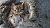 Petit-duc maculé forme rousse, 19 février 2018 ------ Eastern Screech-Owl (lacostejm) Tags: zoneimportantespourlaconservationdesoiseaux refugedoiseauxmigrateurs rom zicoqc128 zico zicoquébec refuged'oiseauxmigrateurs refugedoiseauxmigrateursdelîleauxhérons fleuvestlaurent rapidesdelachine secteurdoiseauxmigrateurs lasalle migrationbirdsanctury naturequébec migratorybirdsconventionact loide1994surlaconventionconcernantlesoiseauxmigrateurs lanatureenville héritagelaurentien amisduparcdesrapides verdun bergesdustlaurent lefleuvesaintlaurentungéantfragile petitducmaculé formerousse easternscreechowl megascopsasio fabuleuse