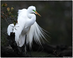 Great Egret (RKop) Tags: staugustinrookery raphaelkopanphotography d500 nikkor600f4evr 14xtciii