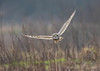 Short Eared Owl (gazclarke2555) Tags: uk merseyside wildlife nature nikon d500 sigma 150600mm sport shorty bird bop