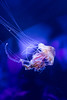 Jellyfish (norasphotos4u) Tags: canon5dmkiv flickr ©noraleonard photonuts water pixthis fbfotografia animals 52frames social canonef2470f4isusm zoo