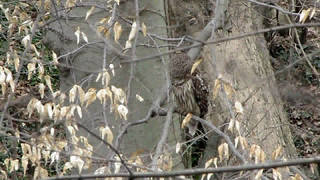 Barred Owl (Strix varia) and Red-shouldered Hawk (Buteo lineatus) - Hamilton County, Ohio, USA - March 31, 2011