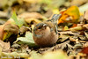 Jean-Luc Wolf_2017-10-22_11-28-56_01 (Jean-Luc Wolf) Tags: oiseaux parcdesceaux parcdesceaux22102017 pinsondesarbres sceaux antony îledefrance france fr