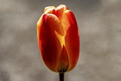 Fire Tulip (randyandy101) Tags: tulip fire snow ice flower red orange yellow bokeh sunlight spring candle light