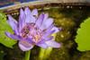 Nectar Oasis (preze) Tags: nymphaeacaerulea blueegyptianwaterlily blueegyptianlotus blaueägyptischeseerose blauerlotus sacredbluelily heiligeblauelilie seerose blume flower bee biene wildbiene zwerghonigbiene wildehonigbiene dwarfhoneybee blossom blüte petals blütenblätter blütenblatt lila bangkok thailand