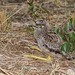 Spotted Thick-knee (Burhinus capensis), chick