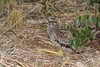 Spotted Thick-knee (Burhinus capensis), chick (Hoppy1951) Tags: manyara tanzania tza tarangirenationalpark eastafrica allanhopkins hoppy1951 spottedthickknee burhinuscapensis chick young
