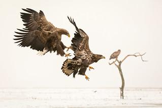 White-tailed eagle / Zeearend