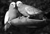 Galahs (david.john.lee) Tags: birds backyard canberra australia