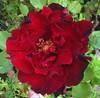 Rosa aperta ad un bacio di sole.. (*Adele Vincenti*) Tags: rosa petali rosso frastagliati profumo fiore natura vita cuore macro immagine riflessioni fotografia adele vincenti
