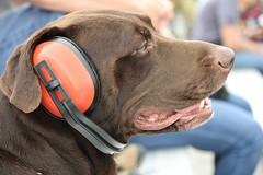 Doggie race fan - Explore 31/1/2018 (MJ Harbey) Tags: dog labrador brownlabrador animal eardefenders rolex24atdaytona daytonainternationalspeedway daytona florida usa nikon d3300 nikond3300