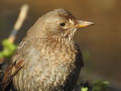 Blackbird (Bob Silver :o)) Tags: blackbird