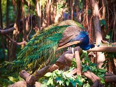 Changlong Zoo and Safari Park 003 (C & R Driver-Burgess) Tags: pea fowl cock hen chimp ape primate meerkat macaw bear play groom swim preen mother