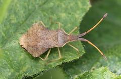 Syromastus rhombeus (Coreidae) (Renko Usami) Tags: coreidae hemiptera insecta arthropoda
