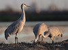 Sandhill Cranes (Grus canadensis) (Ron Wolf) Tags: centralvalley gruidae gruiformes gruscanadensis lodi sandhillcrane bird nature wildlife california