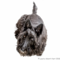 20180205Miss Maggie in High Key8557-Edit (Laurie2123) Tags: ddc ddc2018 dailydogchallenge laurieabbotthartphotography laurieturner laurie2123 maggie maggiemae missmaggie scottie scottieterrier scottiedog scottishterrier scotty scottydog blackscottie blackdog highkey