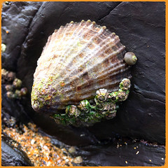 Life on a Limpet shell (Julie (thanks for 8 million views)) Tags: mollusc shell limpet booleybay wexford ireland irish wildlife fauna invertebrate barnacle periwinkle snail iphonese hss snailsaturday texture macro rock sand coast marine squareformat