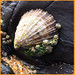 Life on a Limpet shell