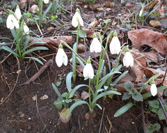 Bucanevi (Eli.b.) Tags: bucaneve snowdrop fiori flowers inverno hiver winter natura