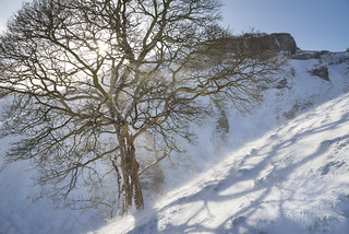 Sycamore at Winnats Pass
