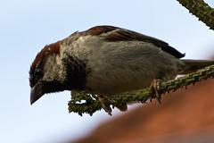 IMG_4799 (Lightcatcher66) Tags: spatzensparrows florafauna makros lightcatcher66
