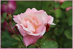 pretty in pink! (MEA Images) Tags: roses rosegarden gardens blooms flora nature parks pointdefiancepark tacoma washington canon picmonkey