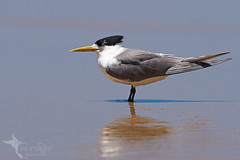 Crested Tern (VS Images) Tags: crestedtern terns thalasseusbergii laridae beach water waterbirds birds bird birding feathers wildlife wildlifephotography animals avian australianbirds australianwildlife australia nsw nature ngc naturephotography getolympus m43 vsimages vassmilevski olympus olympusau
