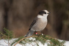 Gray Jay (NicoleW0000) Tags: grayjay gray jay bird grey algonquin outdoor nature wildlife winter photography snow spruce branch woods ontario