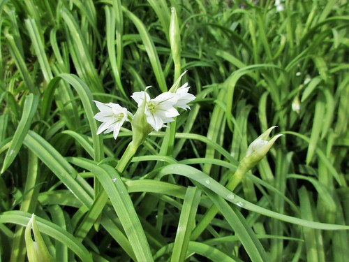 Three-cornered Garlic
