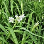Three-cornered Garlic thumbnail