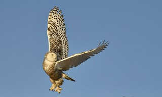 Snowy Owl heading out to hunt in the Late Afternoon