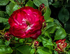 rose cv - fire and ice (Russell Scott Images) Tags: red white flowering rose hybrid cultivar victoriastaterosegarden werribeepark australia fireandice russellscottimages