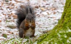 May I please have the nut? (Maryna K.) Tags: animal squirrel eichhörnchen cute animalplanet wildlife