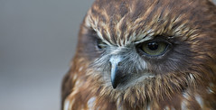 New Zeeland Boobook - Neuseeland - Kuckuckskauz (pe_ha45) Tags: boobook kuckuckskauz eule owl ninoxnovaeseelaendiae tasmanianspottedowl morepork ruru ninoxeboubouk gufastoredellanuovazelanda ninoxmaori