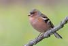 Chaffinch - fringuello maschio (Cristiano Tedesco) Tags: chaffinch fringuello d810 morning bird birds nature bokeh
