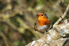 24.02.2018 Arne (9) (Kotatsu Neko 808) Tags: arne dorset england uk spb rspbarne birds robin