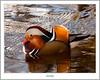 Mandarin Duck In Balloch (flatfoot471) Tags: 2017 balloch bird duck mandarin march nature normal riverleven rural scotland spring unitedkingdom westdunbartonshire gbr