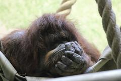 That Monday Morning Feeling.... (law_keven) Tags: orangutan paris france zoo wildlife wildlifephotography photography animalphotography menagerieduplantes