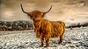 Wee beastie.... (waynedavey67) Tags: canon 5d 5dmkiii canoneos5dmkiii 1635mmf4 scotland trossachs uk highland highlandcattle cattle longhorn cow nature ilovenature wuldlife farm farming