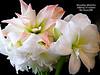 Amaryllis with Haiku (Alan Wiltcher) Tags: amaryllis haiku poem christmas present flower huge bulb hippeastrum southamerica