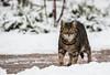 Selbstsicherheit pur (Anja Anlauf) Tags: katze frei säugetier tier natur
