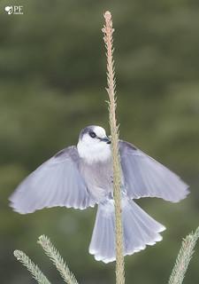 ''L'ange!'' Mésangeai du canada-Gray jay
