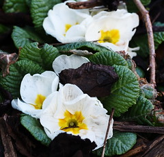DSC_8883 Primroses (PeaTJay) Tags: nikond750 sigma reading lowerearley berkshire macro micro closeups gardens outdoors nature flora fauna plants flowers primrose primroses