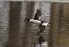 Common Goldeneye. (Estrada77) Tags: ducks goldeneye water nikon 200500mm d500 jan2018 wildlife foxriver winter birding